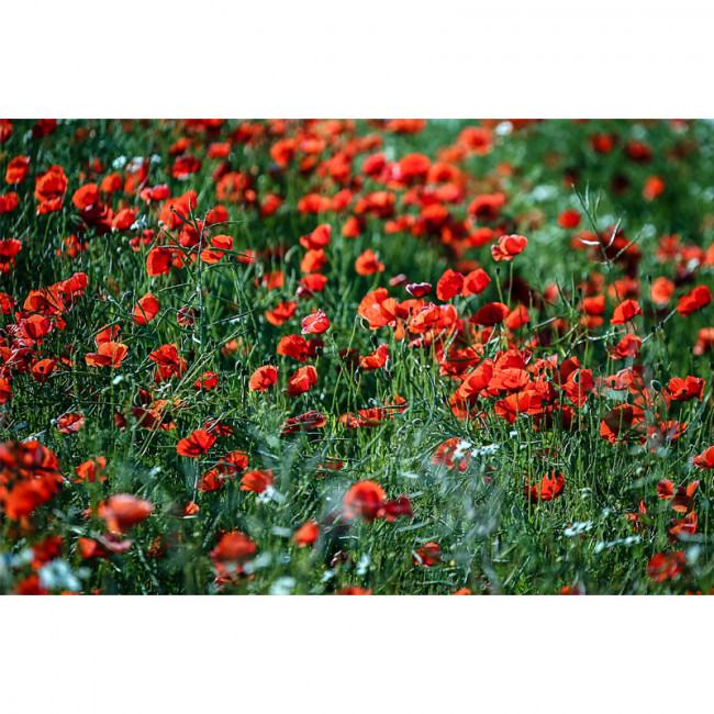 Kit pictura pe numere cu flori,  Poppies cornfield