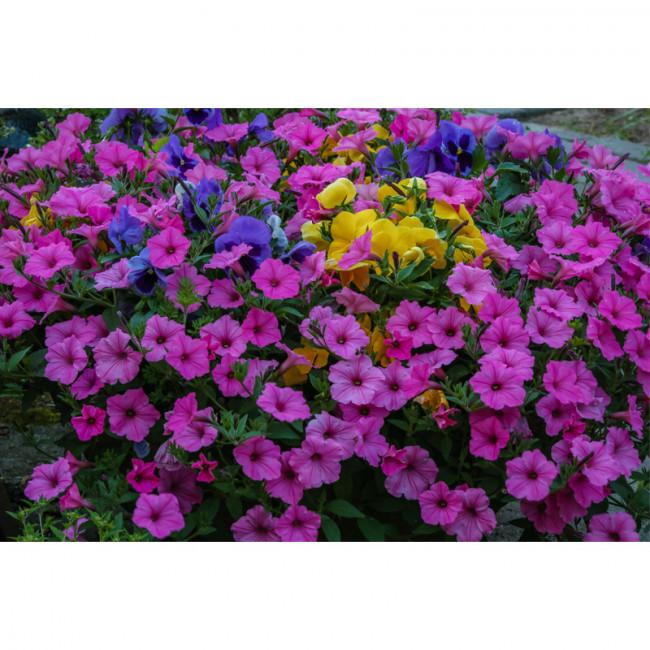 Kit pictura pe numere cu flori, Pink petunias